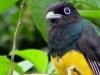 Surucuá-grande-de-barriga-amarela (macho)
