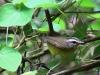 Basileuterus culicivorus