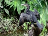 Phalacrocorax brasilianus
