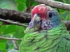 Amazona braziliensis