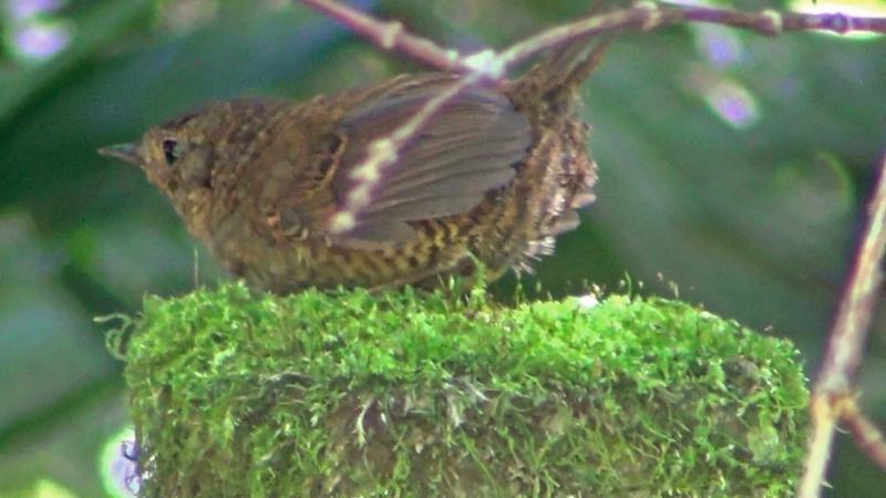 Scytalopus speluncae