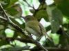 Hemitriccus nidipendulus