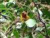 Hemithraupis ruficapilla