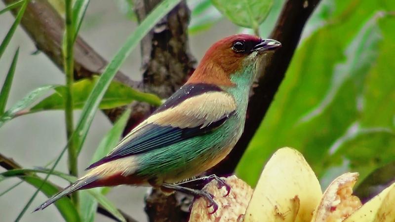 Tangara peruviana