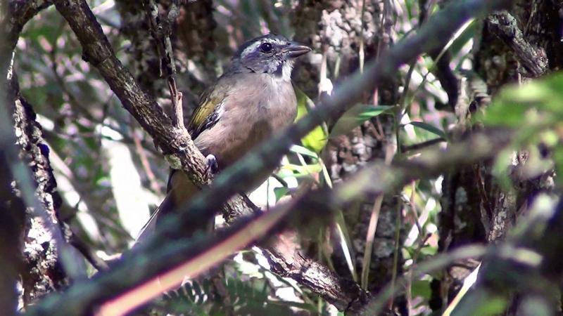 Saltator similis