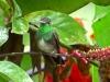 Amazilia fimbriata