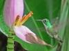Amazilia versicolor