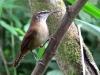 Cantorchilus longirostris