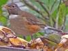 Turdus albicollis